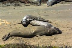 Уплотнения слона на пляже, San Simeon, Калифорнии Стоковые Изображения