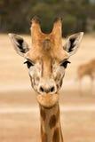 уровень giraffe глаза Стоковое Изображение RF