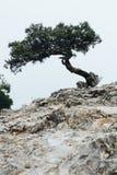 Уродское, изогнутое дерево странных форм пугающе стоит в тумане стоковые фотографии rf