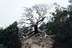 Уродское, изогнутое дерево странных форм пугающе стоит в тумане стоковая фотография