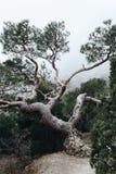 Уродское, изогнутое дерево странных форм пугающе стоит в тумане стоковое фото