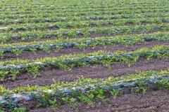 Урожаи арбуза засаживая в строках стоковое изображение