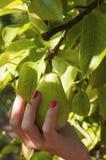 Урожаи груши на дереве с рукой Стоковое Фото