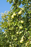 Урожаи груши на дереве Стоковые Фотографии RF