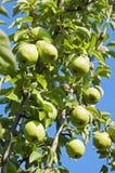 Урожаи груши на дереве Стоковые Изображения