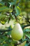 Урожаи груши на дереве Стоковое Изображение RF