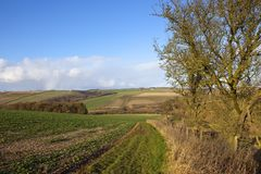 Урожаи и живые изгороди рапса саженца в зиме Стоковые Изображения RF