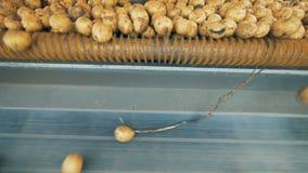 Урожаи картошки двигают на транспортер для сортировать после сбора 4K сток-видео