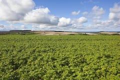 Урожаи картошки поздним летом Стоковые Изображения RF