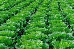 Урожаи китайской капусты на поле стоковое фото rf