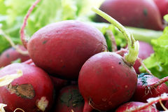 Урожаи корня редиски Стоковая Фотография RF