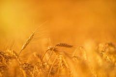 Урожаи пшеницы в аграрном поле стоковые фотографии rf