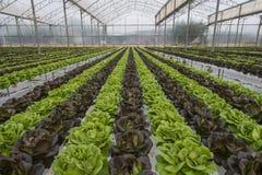 Урожаи салата Стоковые Изображения RF