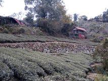 Урожаи чая в Тайване стоковые изображения rf