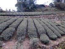 Урожаи чая в Тайване стоковая фотография