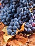 Урожай виноградин для изготовления вина Стоковые Изображения RF