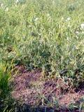 Урожай горохов Стоковое Изображение