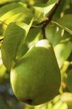 Урожай груши на дереве Стоковая Фотография