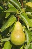 Урожай груши на дереве Стоковое фото RF