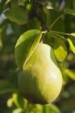 Урожай груши на дереве Стоковая Фотография RF