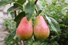 Урожай груш, здоровых органических груш Стоковая Фотография RF