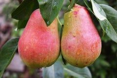 Урожай груш, здоровых органических груш Стоковые Фотографии RF