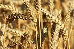 урожай детализирует пшеницу зерна стоковые изображения