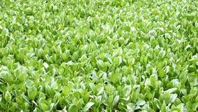 Урожай завода листовой капусты к neary для предпосылки Стоковое Фото