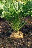 Урожай корня сахарной свеклы Стоковое Изображение RF