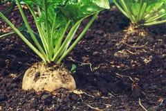 Урожай корня сахарной свеклы Стоковая Фотография
