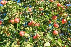 Урожай красных зрелых яблок на яблоне в саде Стоковое фото RF