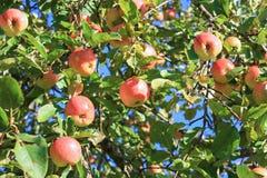 Урожай красных зрелых яблок на яблоне в саде Стоковая Фотография RF