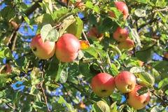 Урожай красных зрелых яблок на яблоне Стоковые Изображения RF