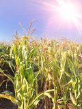 Урожай мозоли, высушенное поле готовое для сбора с лучем солнечного света стоковые фото