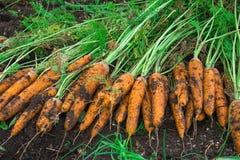 Урожай морковей Женщина ужинает урожай морковей Очень большая морковь Стоковое Фото