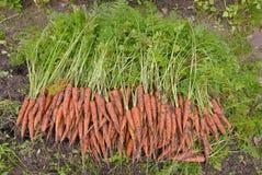 Урожай морковей Стоковые Изображения