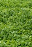 Урожай петрушки свежий стоковые фото