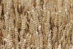 Урожай пшеницы Стоковое Изображение