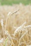 Урожай пшеницы (Triticum) готовый для сбора. стоковое фото