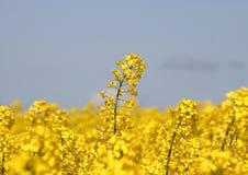 Урожай рапса в поле с серым небом Стоковая Фотография