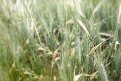 Урожай рож на поле Стоковая Фотография