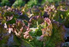 Урожай салата стоковые изображения
