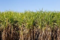 Урожай сахарного тростника в поле готовом для сбора с голубым небом стоковое фото rf