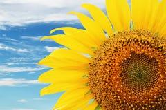 Урожай солнцецвета Стоковая Фотография RF