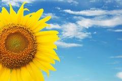 Урожай солнцецвета Стоковые Изображения