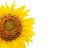 Урожай солнцецвета Стоковое фото RF