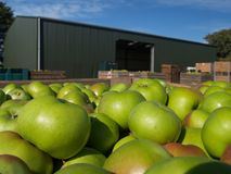 урожай яблока Стоковое Изображение RF