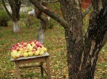 урожай яблока Стоковая Фотография