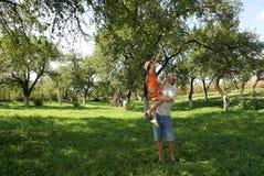 урожай яблок Стоковое Фото