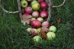 Урожай Яблока Стоковое Фото